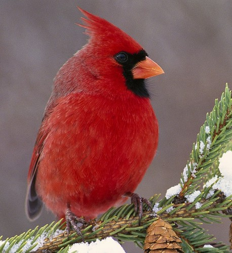 cardinal bird wallpaper 006 b